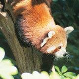 Hurrah_craft_red_panda_2